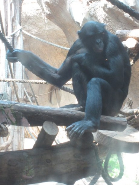 2013-07-16 - Leipzig Zoo - 11 (Bonobos)
